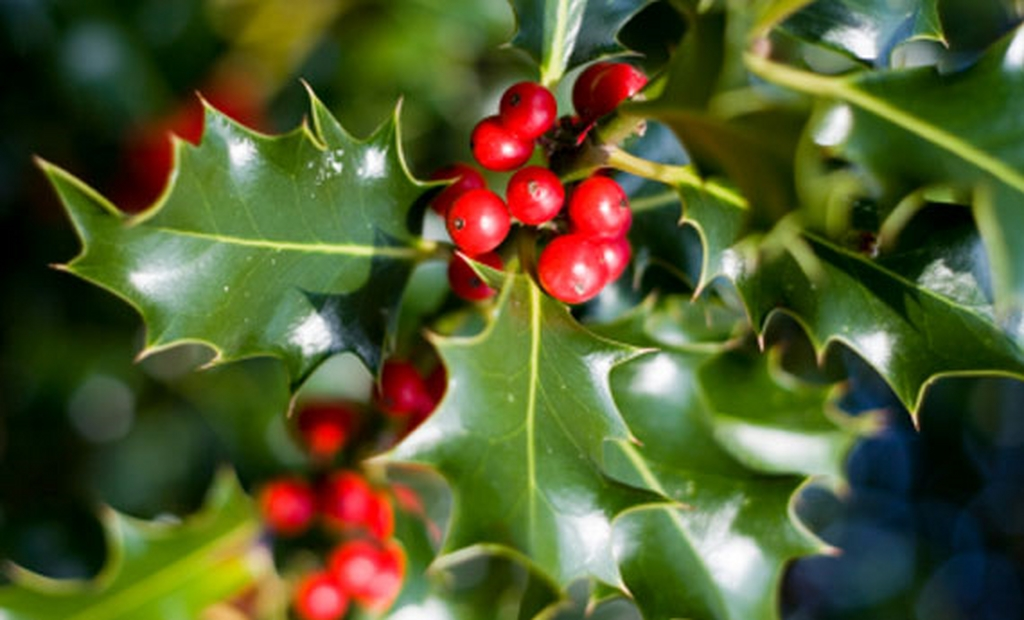 Piante natalizie news grechi giardini for Piante invernali