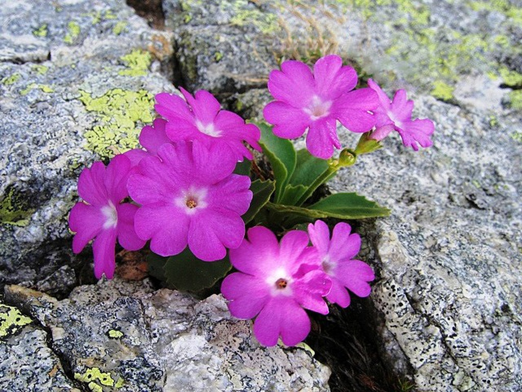 Primule tardive curiosit grechi giardini for Primule immagini