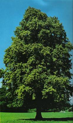 Tra mito e leggenda storia del tiglio grechi giardini for Tiglio albero